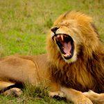 あくびをするライオン